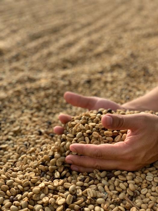 Le café vert : Tout savoir